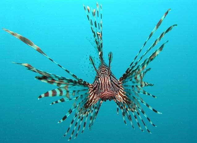 Akdeniz'i istila eden Aslan balığı, kısmi felç yaşatıyor
